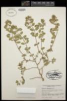 Euphorbia tomentulosa image