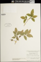 Vaccinium alaskaense image
