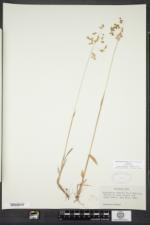 Anthoxanthum nitens image