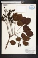 Bischofia javanica image