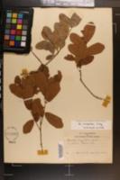Quercus chapmanii image