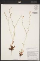 Plagiobothrys fulvus var. campestris image