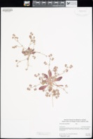 Chorizanthe angustifolia image