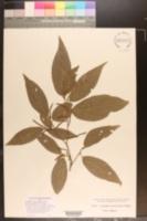 Image of Acalypha salicioides