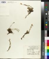 Image of Arenaria laricifolia