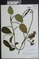 Potamogeton pulcher image