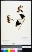 Mikania capensis image