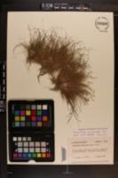Eleocharis microcarpa image