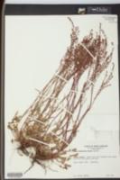 Rumex hastatulus image