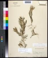 Image of Ceratophyllum muricatum