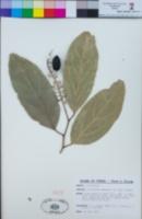 Image of Citronella samoensis