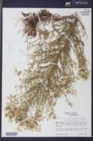 Conyza canadensis var. pusilla image