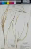 Hilaria rigida image