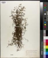 Galium claytonii image