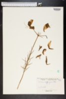 Image of Lilium lankongense