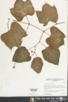 Cissus gossypiifolia image
