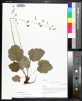 Image of Heuchera longiflora