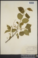 Euonymus japonicus image