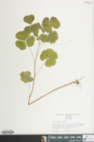 Image of Oxalis grandis