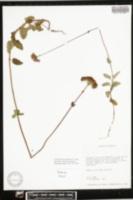 Conoclinium mayfieldii image