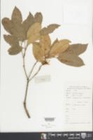 Image of Engelhardia roxburghiana