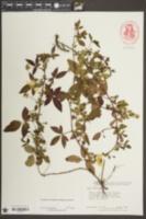 Rubus trivialis image