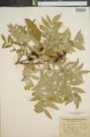 Image of Rhus angustiarum