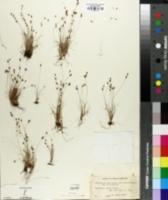 Bulbostylis capillaris subsp. capillaris image