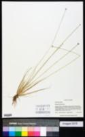 Eriocaulon lineare image