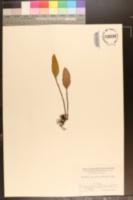 Image of Pyrrosia petiolosa