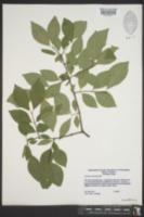 Nestronia umbellula image