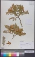 Image of Sophora macrocarpa