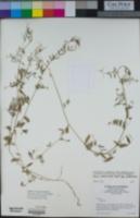 Vicia ludoviciana image