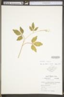 Cardamine diphylla image