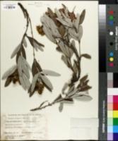Image of Eriosema salignum