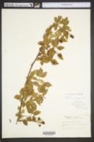 Image of Rubus deamii