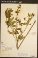 Baptisia leucantha image