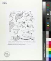 Image of Pentarrhinum gonoloboides