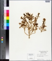 Cakile constricta image