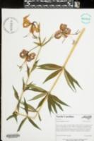 Lilium philadelphicum image