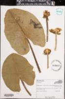 Nuphar lutea image