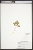 Sceptridium oneidense image