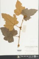 Image of Rubus reflexus