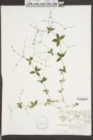 Galium circaezans image