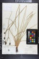 Eryngium sparganophyllum image