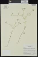 Spermolepis inermis image
