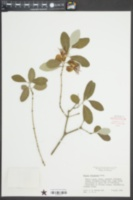 Acca sellowiana image