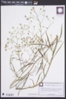 Symphyotrichum subulatum image