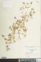 Image of Chamaesyce polygonifolia