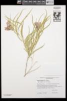 Chilopsis linearis subsp. arcuata image